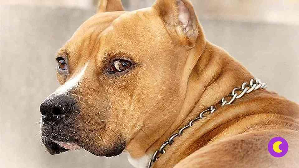 фото стафф собаки
